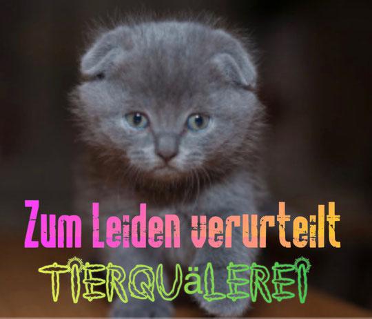 British Langhaar, Britisch Kurzhaar mit Faltohren leiden an Osteochondrodysplasie - auch bei kaum sichtbaren Faltohren. Die Zucht von Faltohrkatzen ist qualvoll, unethisch und unmoralisch