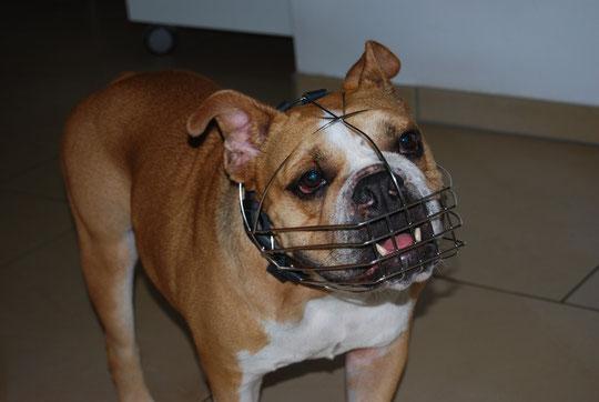 Ein lieber Bully nur den Tierarzt kann er nicht leiden.