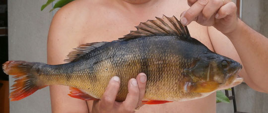 Perche (de 49 cm) de 1.980 kg prise au bassin de Saint Denis en août 2012