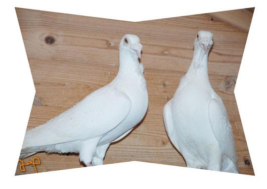 Ostravas blancs