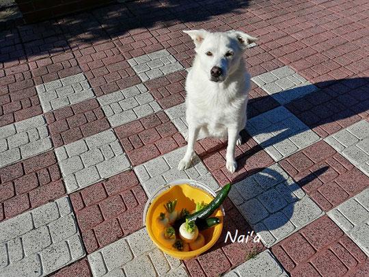 家庭菜園 かぶ きゅうり 保護犬 愛犬