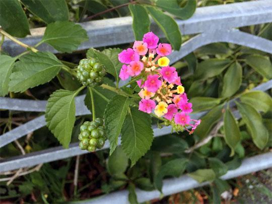 咲き始めは黄色、時間がたつにつれ橙色から赤色・ピンク色に色を変えるランタナ(七変化)
