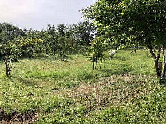 初夏の桜葬地(5月10日)。桜の元にも様々な花が咲いています。