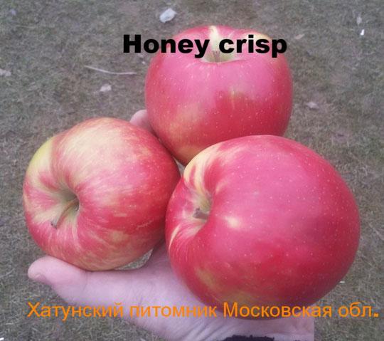 Однолетние саженцы яблони на подвое 54-118