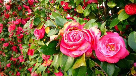 高井戸地区センターの敷地内、圧巻のwall flowe(壁の花)ならぬflower wall(花壁?) (°∀°)!