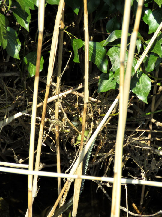Ringelnattern (Natrix natrix) im Garten