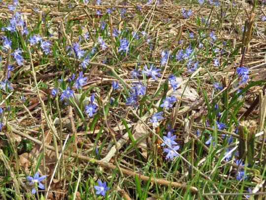 Scilla-Blüten