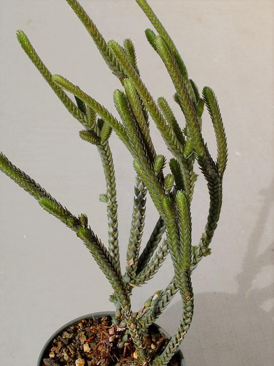 Crassula lycopodioides f. variegata
