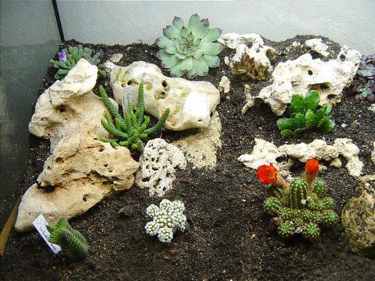 Euphorbia inermis im Pflanzenterrarium