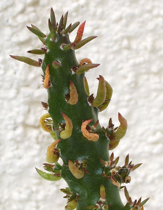 Austrocylindropuntia subulata monstrosa