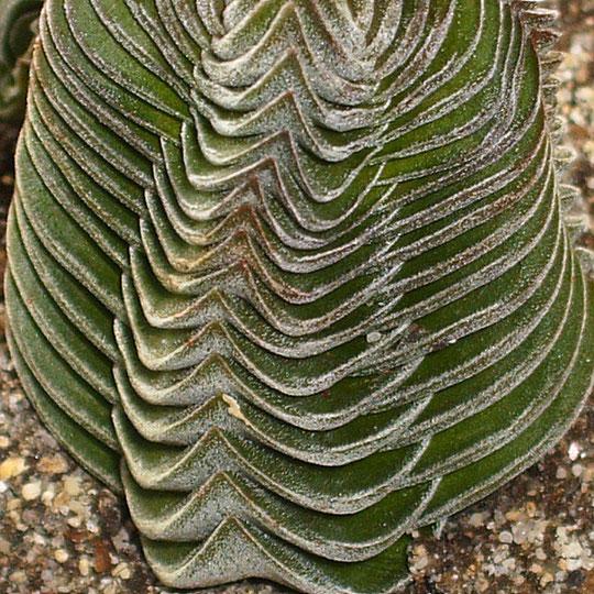 Crassula cv. 'Buddah's -Tempel