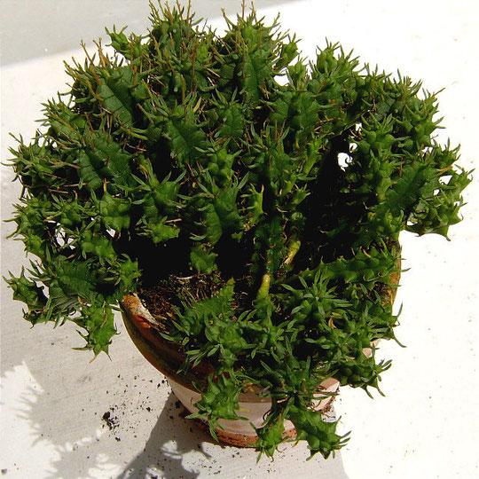 Euphorbia  submammillaris fa. pfersdorfii