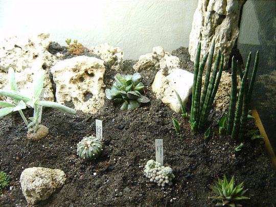 Astrophytum asterias im Pflanzenterrarium