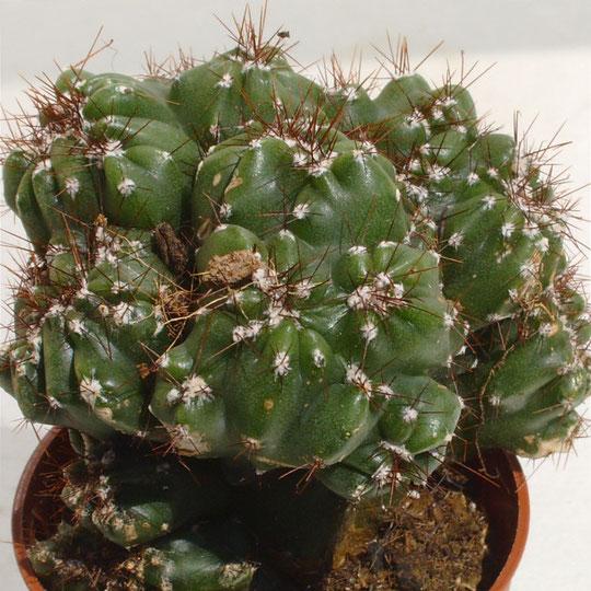Cereus peruvianus monstrosus