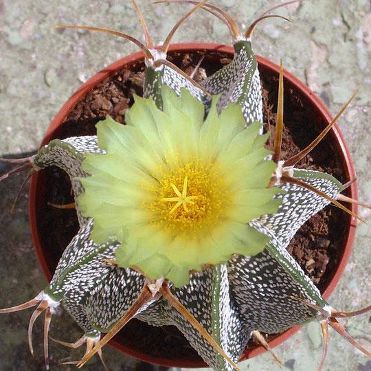 Astrophytum ornatum mit Blüte