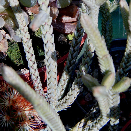 Crassula lycopodioides f variegata
