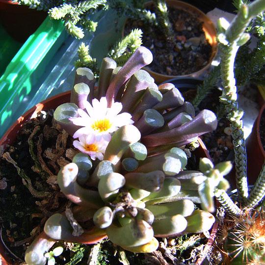 Frithia pulchra & Frithia humilis