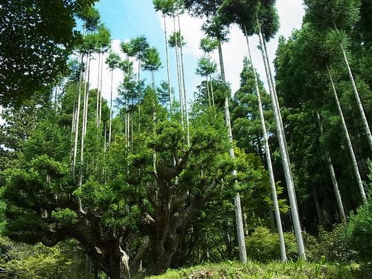 巨大な台杉、まさかこんなものに出会えるなんて‥