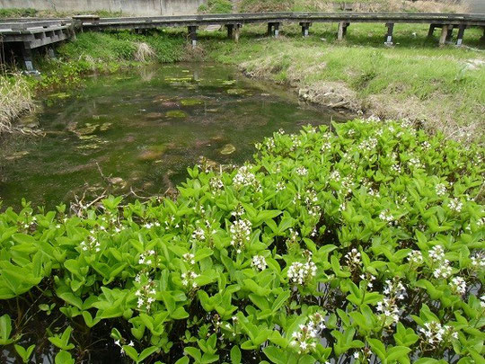 中池見湿地「ミツガシワ」