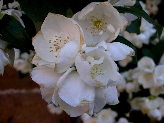 Blüten im Schloßgarten