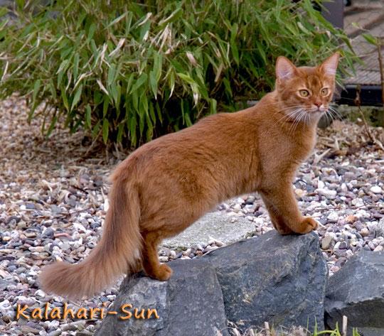 Somali-Katze sorrel, Cattery Kalahari-Sun