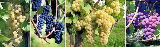 Weintrauben - Gutedel, Blauburgunder, Riesling/ Sylvaner und Königsgutedel