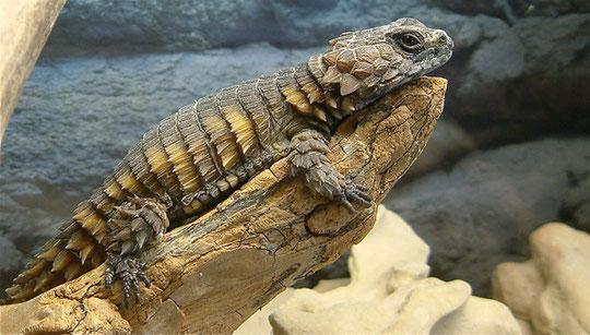 """Cordylus cataphractus """"Methusalem"""" lebt seit über 35 Jahren bei uns."""