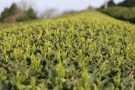 一番茶の芽が伸びてきました