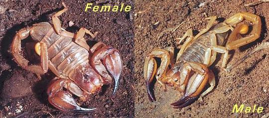 Urodacus elongatus