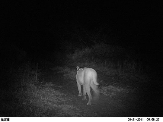Caracal. A Ingwe sono molto schivi, a causa del gran numero di leopardi.