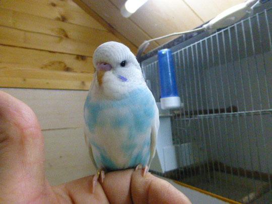 Dieser hübsche Welli und eine blaue Dame werden am 12.12.2014 abgeholt und werden in Bramsche wohnen. Die blaue Dame habe ich vergessen zu fotografieren.