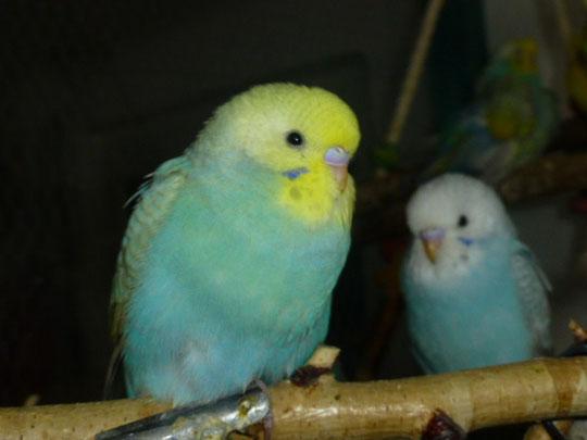 Die Stefanievögel
