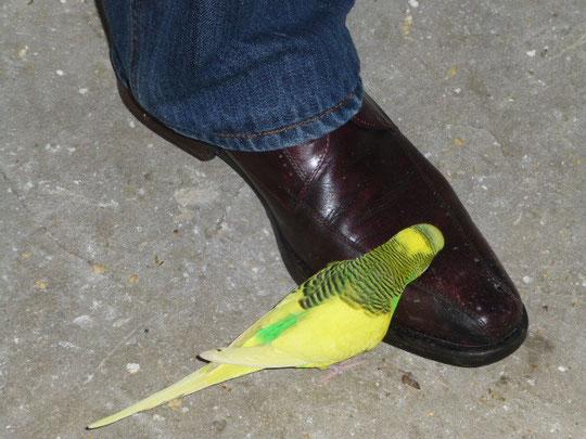 Seit längerer Zeit fällt mir auf, das Vinnie Schuhe und Füße liebt. Man muß hier sehr vorsichtig laufen bzw. gehen  da Vinnie sehr aufdringlich ist.