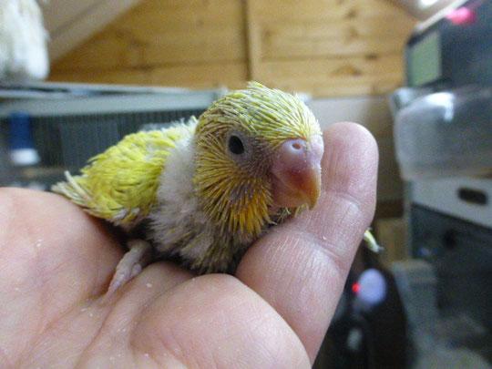 Ein hübscher gelber mit grünem Bauch