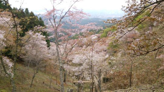 奈良県吉野の千本桜の感想