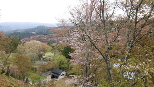 奈良県吉野の桜