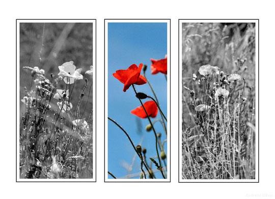 Mohntriologie | fotografiert 06-2011