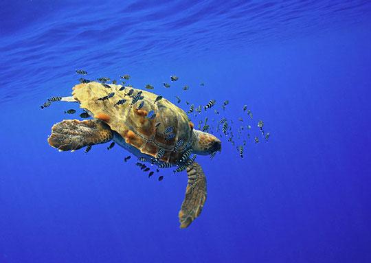 плывущая черепаха