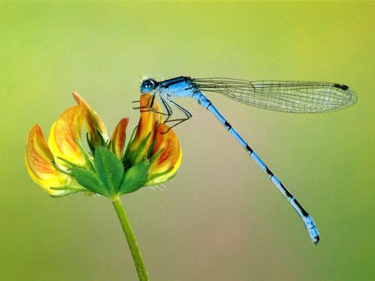 фото стрекоза на цветке