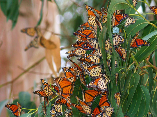 Множество бабочек