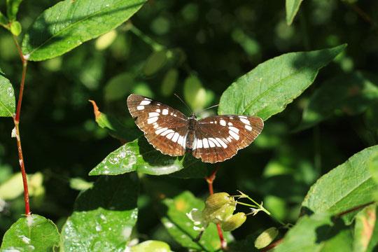 Горная бабочка фотографии