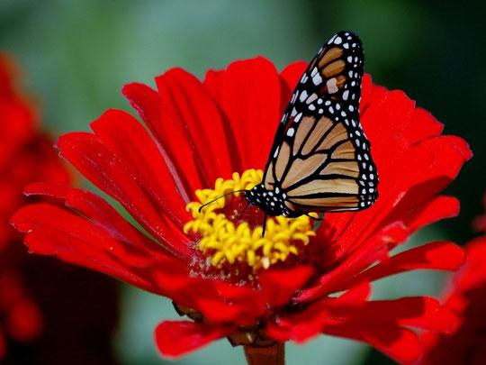 фото бабочек на цветах