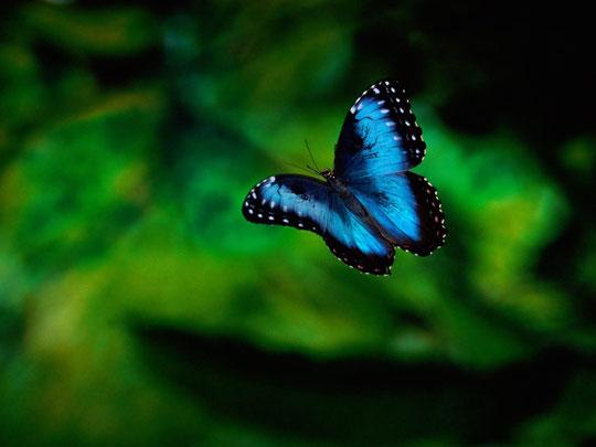 Летящая синяя бабочка