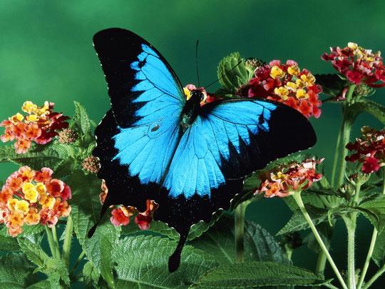 Черно-голубая бабочка фото