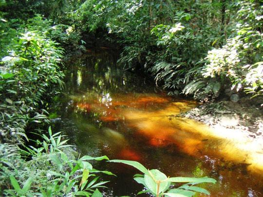 Urwaldbach mit klarem Wasser