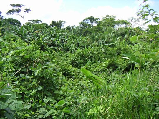 An manchen Stellen im Urwald ist ein Durchkommen unmöglich
