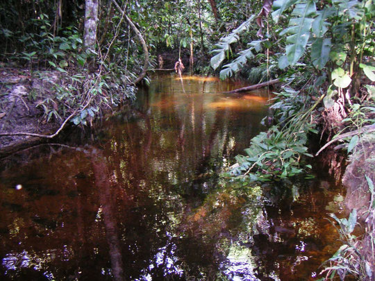 Tausende kleine Urwaldbäche, wie diesen gibt es