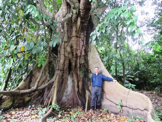 Baumstamm eines Urwaldriesen Durchmesse ca. 3 Meter