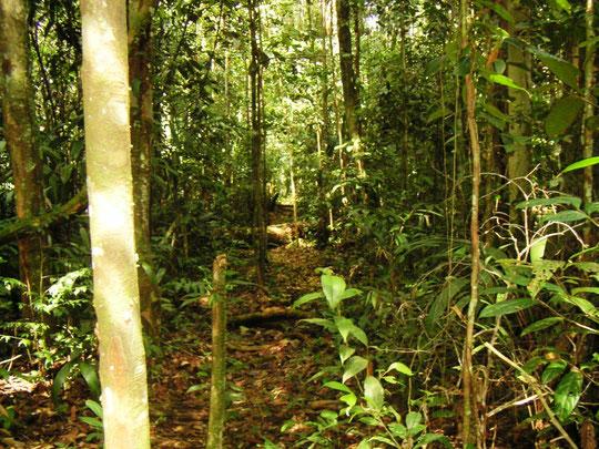 Typischer Urwaldweg, der von den Einheimischen benutzt wird