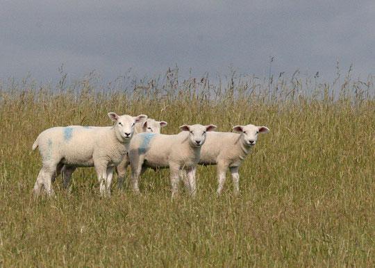 Schafe in Dänemark